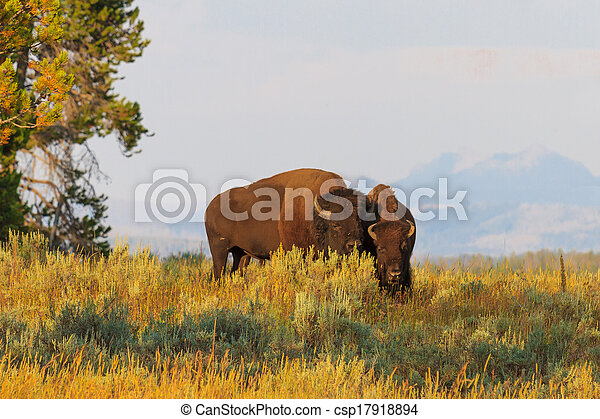 Buffalos / Bisons in high grass in Yellowstone National Park, Wyoming - csp17918894