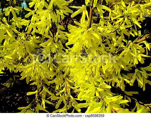 Beau Buisson Fleurs Jaune Forsythia