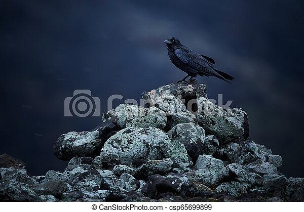 bulgarije, zittende , foto, sneeuw, rotsen, dramatisch, algemeen, (corvus, blizzard., rodopy, corax), raaf - csp65699899