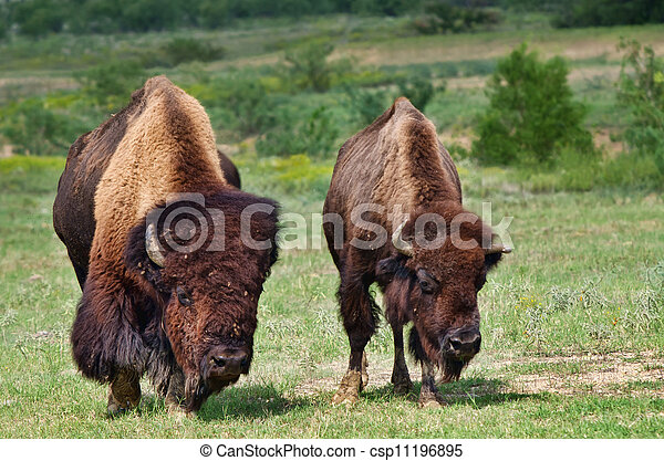Bull and cow bison or buffalo - csp11196895