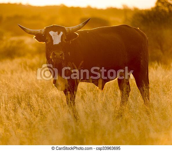 Bull Cow - csp33963695