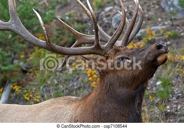 Bull elk, cervus canadensis - csp7108544