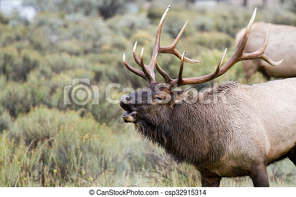 bull elk nice antlers rutting bugle - csp32915314