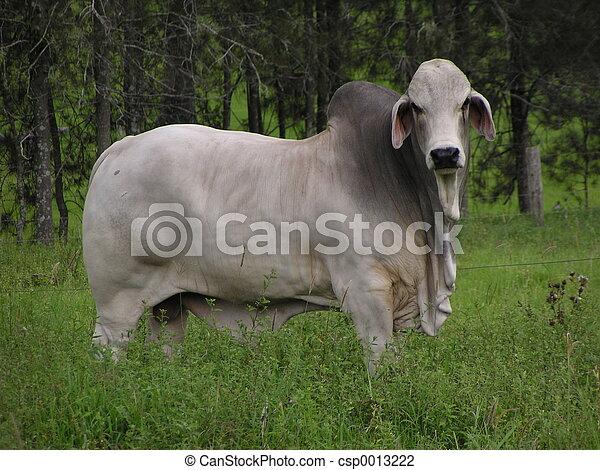 Bull in a Field - csp0013222