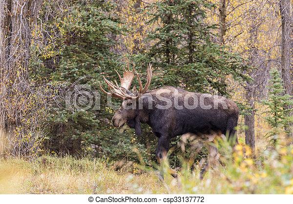 Bull Moose - csp33137772