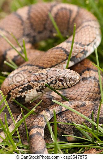 Bull Snake in the grass - csp3547875