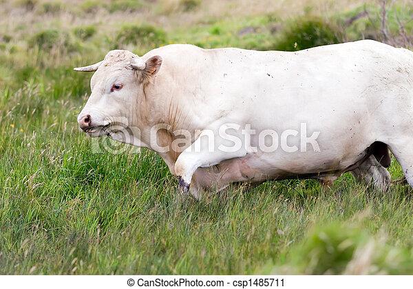 bull walking in high meadow - csp1485711