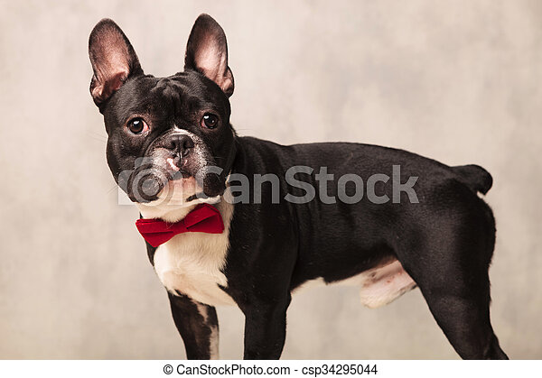 Bulldog Francese Nero Curioso Ritratto Bianco Il Portare