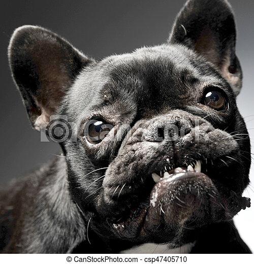 Bulldog Grigio Studio Francese Ritratto