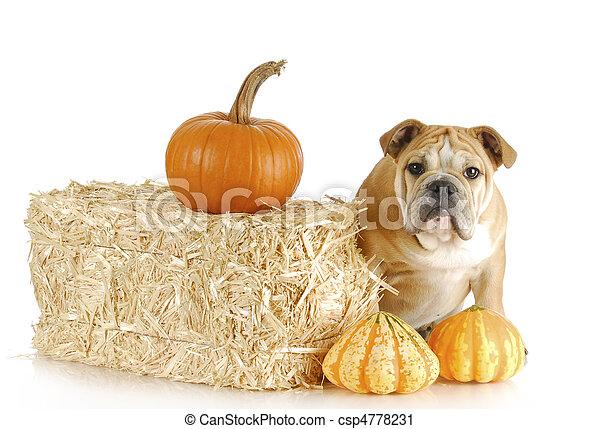 bulldog puppy - csp4778231