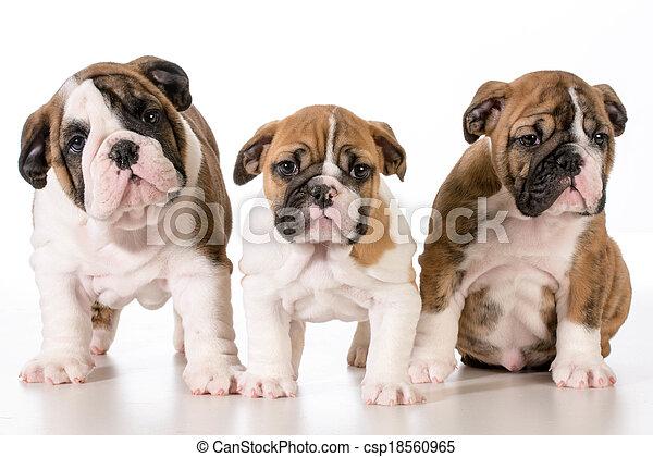 bulldogge, hundebabys - csp18560965