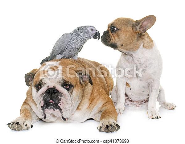 bulldogs and parrot - csp41073690