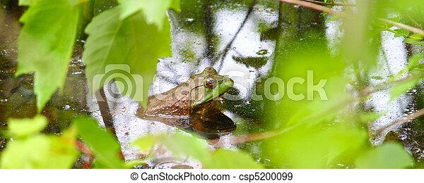 Bullfrog (Rana catesbeiana) - csp5200099