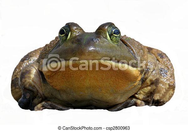 Bullfrog (Rana catesbeiana) - csp2800963