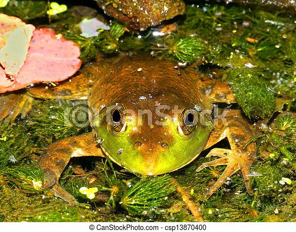 Bullfrog (Rana catesbeiana) Wisconsin - csp13870400