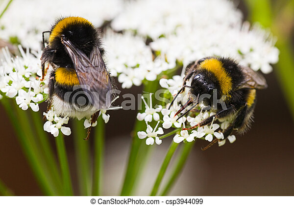 Bumble bees busy gathering nectar in summer - csp3944099