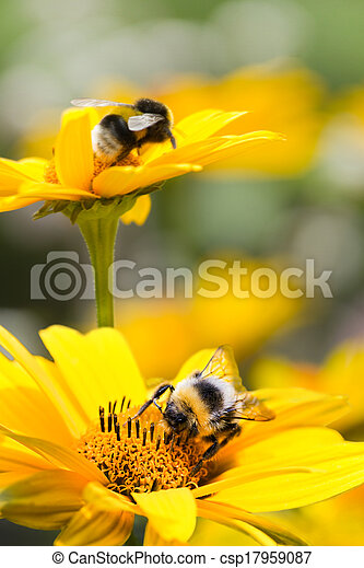Bumble bees on sunflowers in summer - csp17959087
