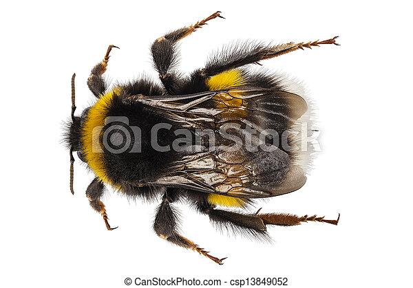 bumblebee, espécie, terrestris, bombus - csp13849052