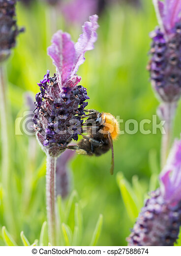 Bumblebee on lavender blossom in detail - csp27588674