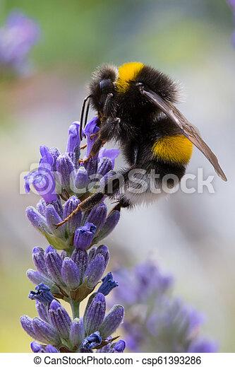 Bumblebee on lavender flower - csp61393286