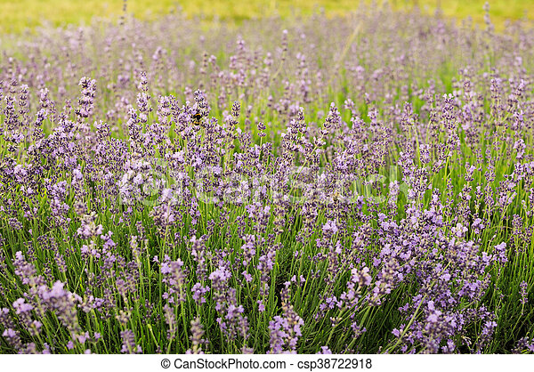 Bumblebee on lavender, Krakow, Poland - csp38722918