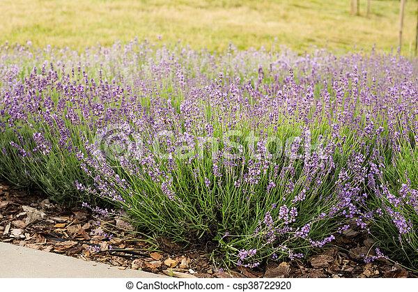 Bumblebee on lavender, Krakow, Poland - csp38722920