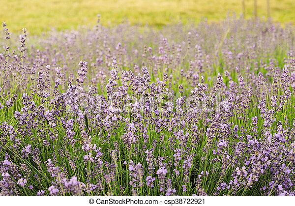 Bumblebee on lavender, Krakow, Poland - csp38722921