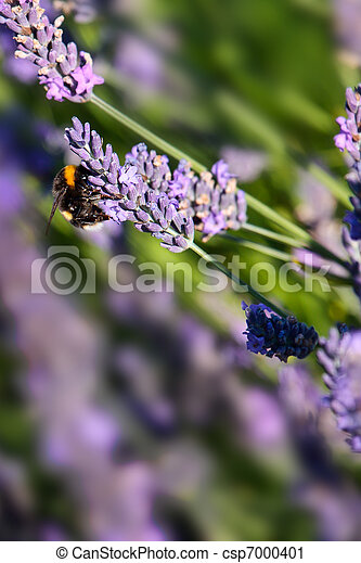 Bumblebee on Lavender - csp7000401