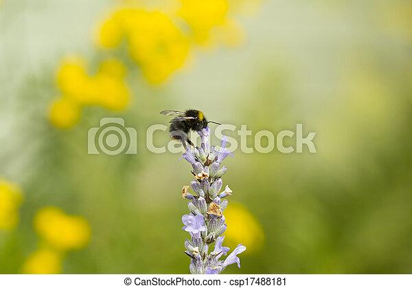 Bumblebee on Lavender - csp17488181