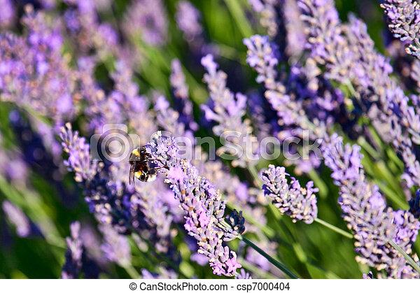 Bumblebee on Lavender - csp7000404