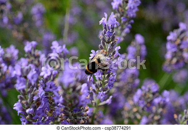 Bumblebee on Lavender - csp38774291