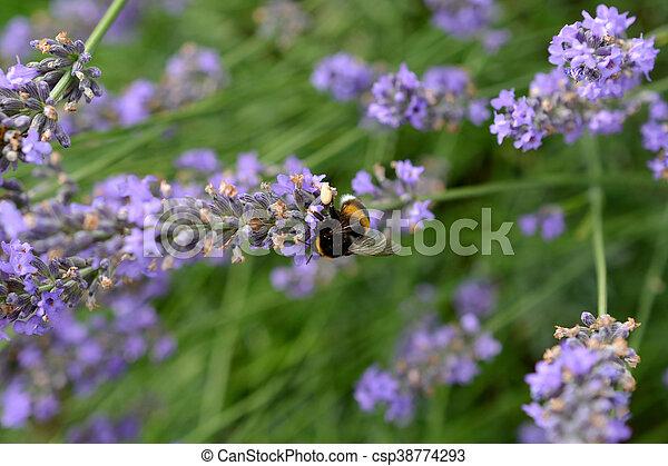 Bumblebee on Lavender - csp38774293