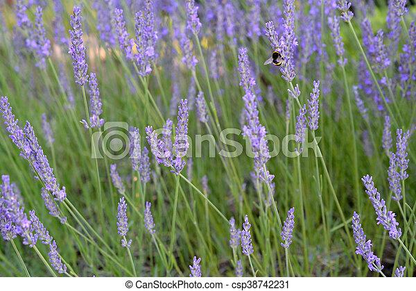 Bumblebee on Lavender - csp38742231