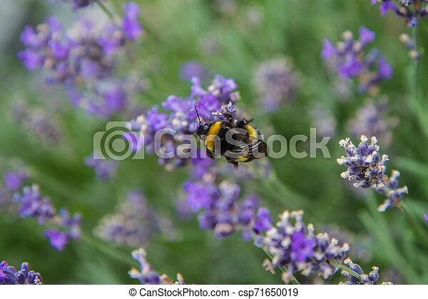 Bumblebee - csp71650019