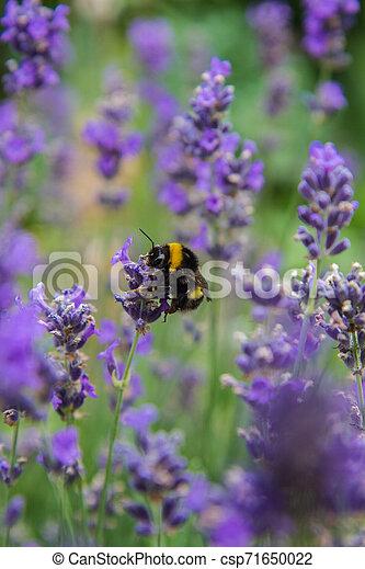 Bumblebee - csp71650022