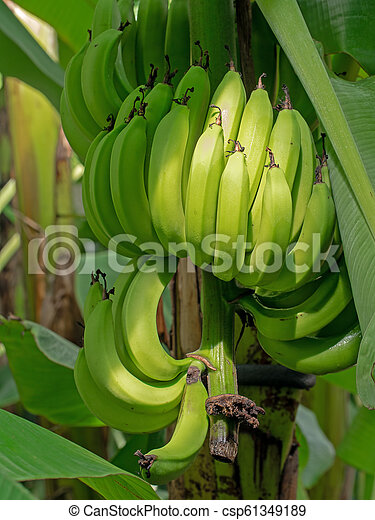 Bunch of bananas. Fruit still ripening on tree, green, unripe. - csp61349189