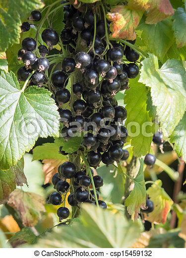 Bunch of Blackcurrants ripening in the sun - csp15459132
