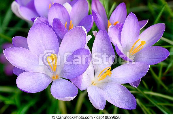 Bunch of crocus flowers - csp18829628