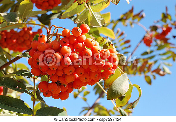 Bunch of european rowan on tree - csp7597424