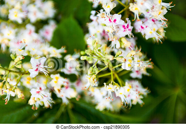 Bunch Of Flowers Of The Horse Chestnut Tree Bunch Of White Flowers
