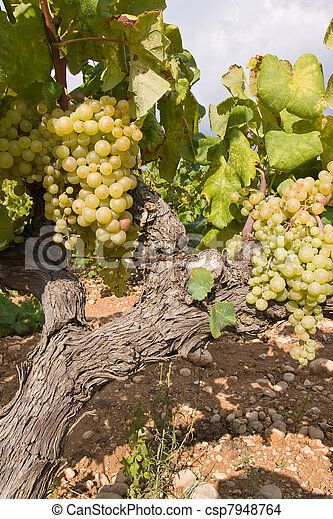 bunch of golden grapes on grapevine right before harvest - csp7948764