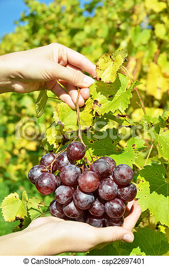 Bunch of grapes in the hands - csp22697401