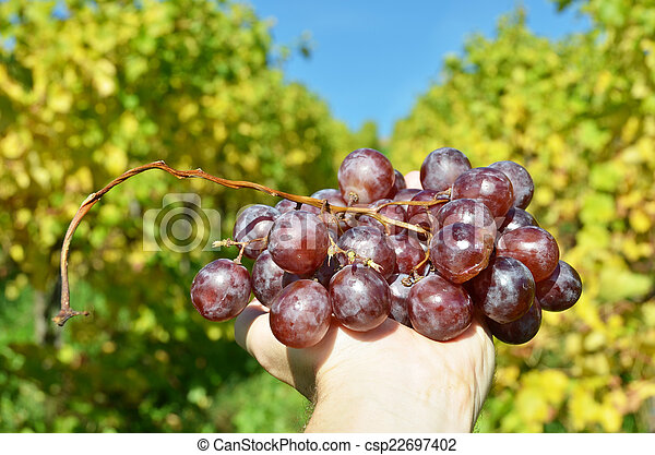 Bunch of grapes in the hands - csp22697402