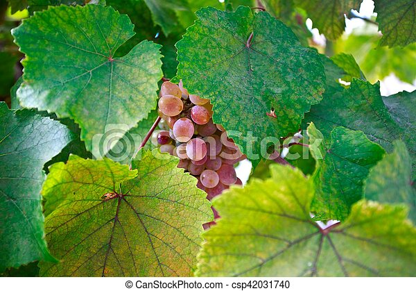 Bunch of grapes on a vine in the sunshine - csp42031740