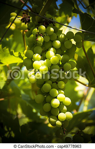 Bunch of grapes on the vine ripening in sunshine - csp49778963