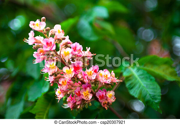 Bunch of pink flowers of the horse chestnut tree bunch of pink flowers of the horse chestnut tree csp20307921 mightylinksfo