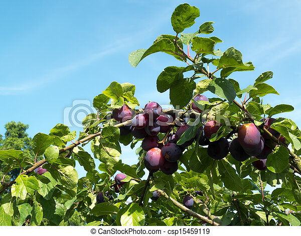 Bunch of Plums ripening in the sunshine - csp15459119