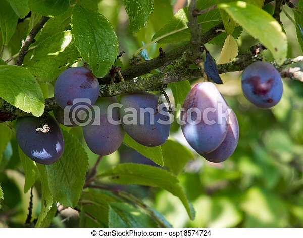 Bunch of Plums ripening in the sunshine - csp18574724