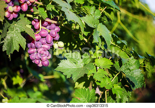 Bunch of red grapes on a vine in the sunshine. - csp36313315