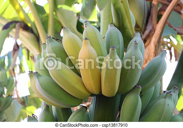 Bunch of ripening bananas on tree - csp13817910